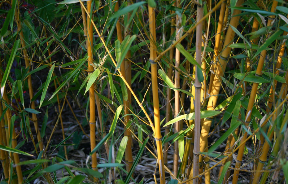 A bamboo plant. (Photo: Artep/ Flickr)