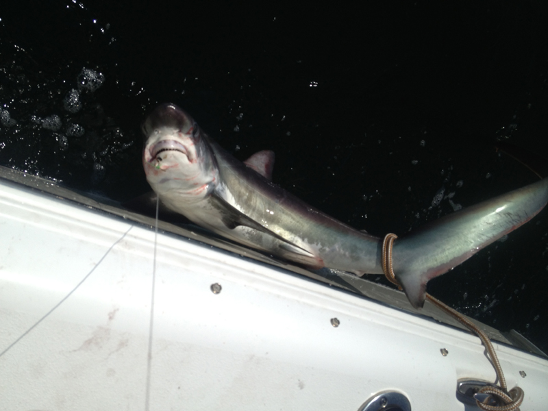 Bob Wilson's thresher shark, caught on a fluke rig from Pell's Fish and Sport in Brick. (Photo: Pell's Fish and Sport)