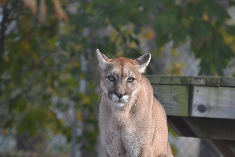 Zoe, a lion at the Popcorn Park Zoo in Lacey Township. (Photo: Popcorn Park Animal Refuge)