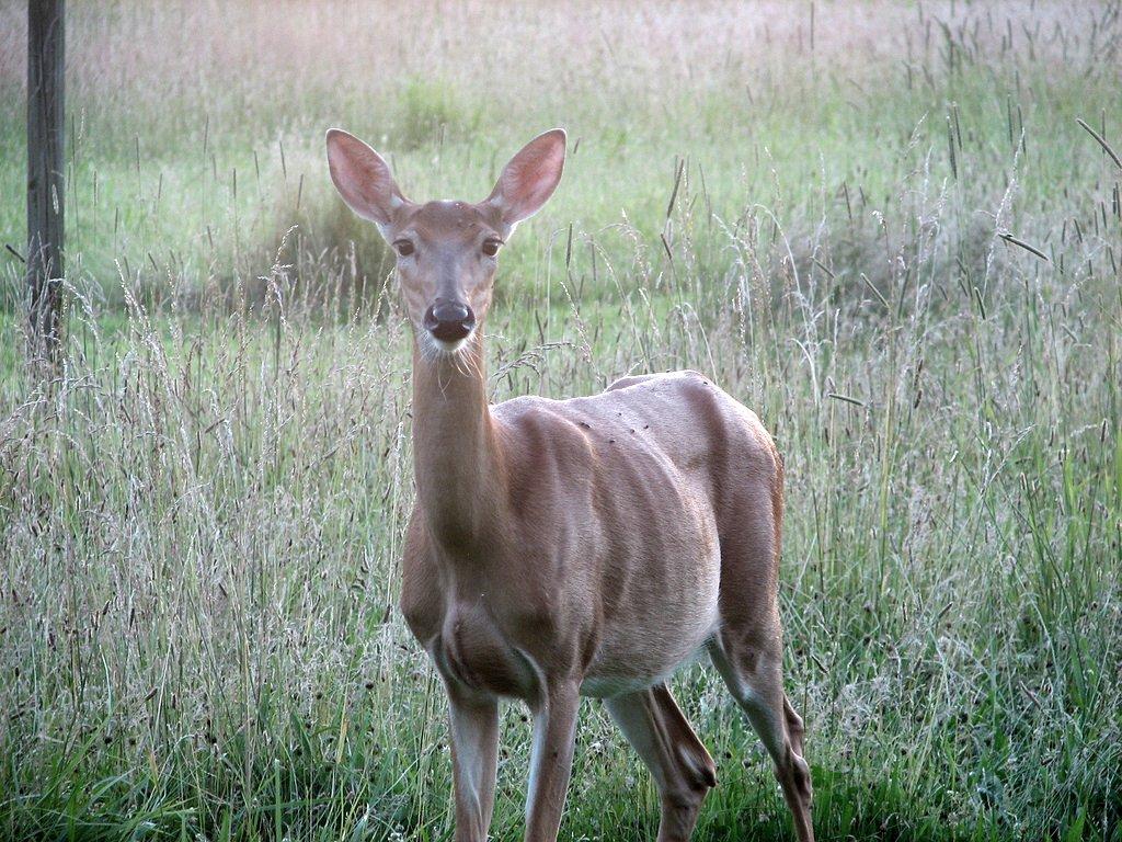 Deer. (File Photo/ brokinhrt2/Flickr)