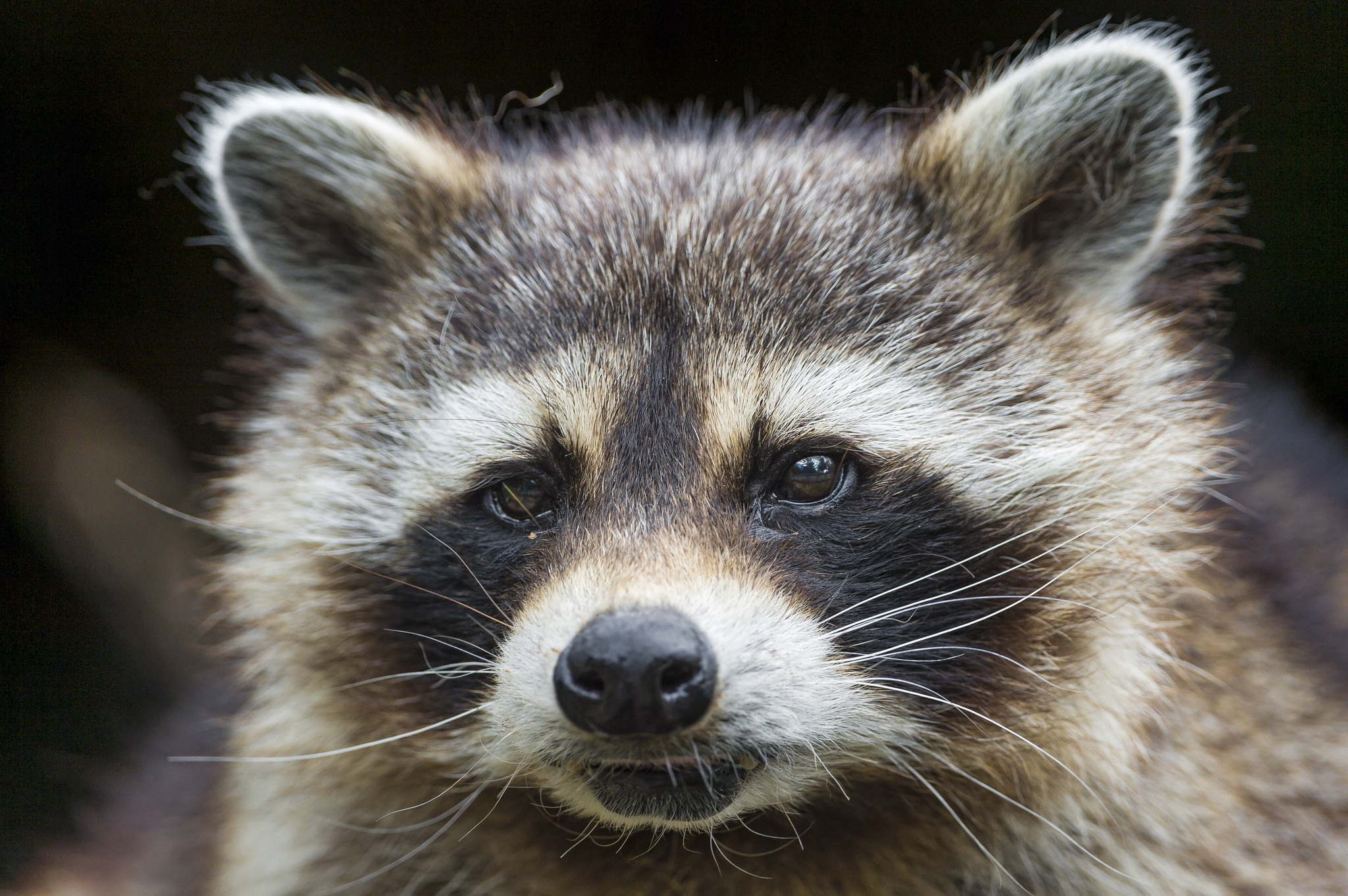 Raccoon (File Photo)