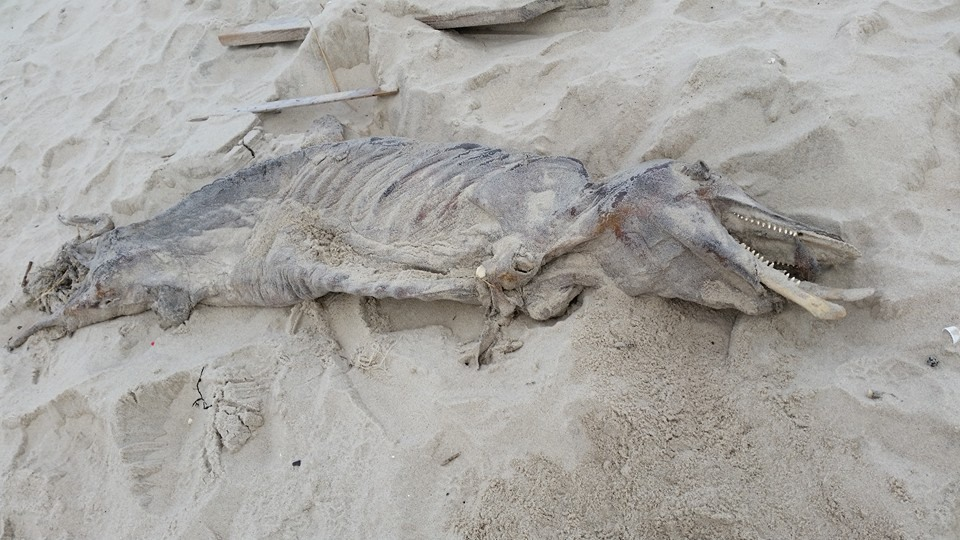 The carcass of a marine animal that washed up after the Dec. 9, 2014 nor'easter. (Photo Credit: Denise WIrth)