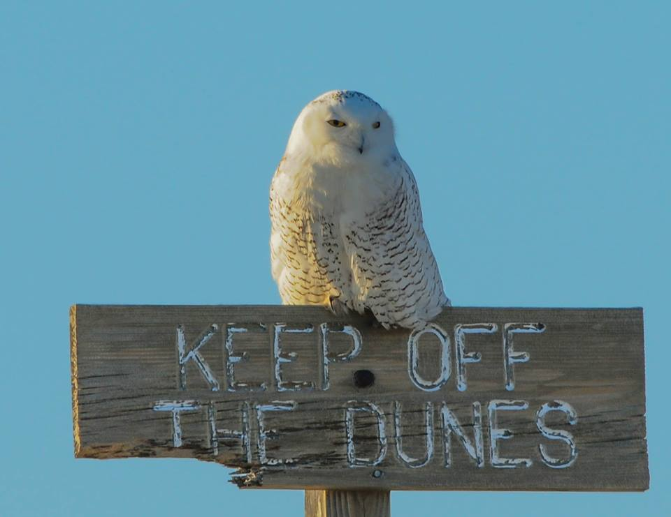 A snowy owl at Island Beach State Park. (Photo: Kevin Knutsen/Facebook/We Love IBSP)