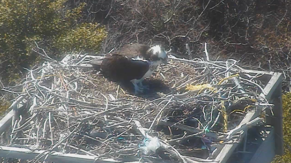 An osprey in a nest at Island Beach State Park, as shown on the popular Osprey Cam. (Photo: Osprey Cam)