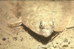 Winter Flounder (Photo: NOAA)