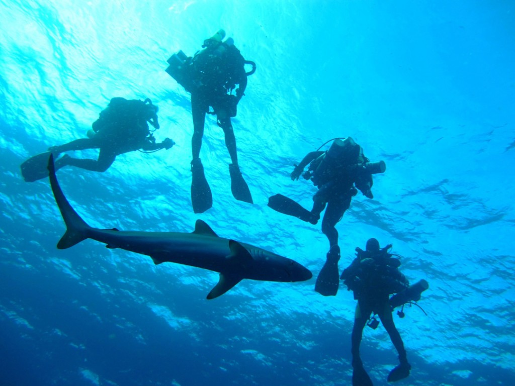 A group of researchers dive with sharks off the Florida coast. (Photo: Robbie Christian, University of Miami / NOAA Ocean Explorer.)