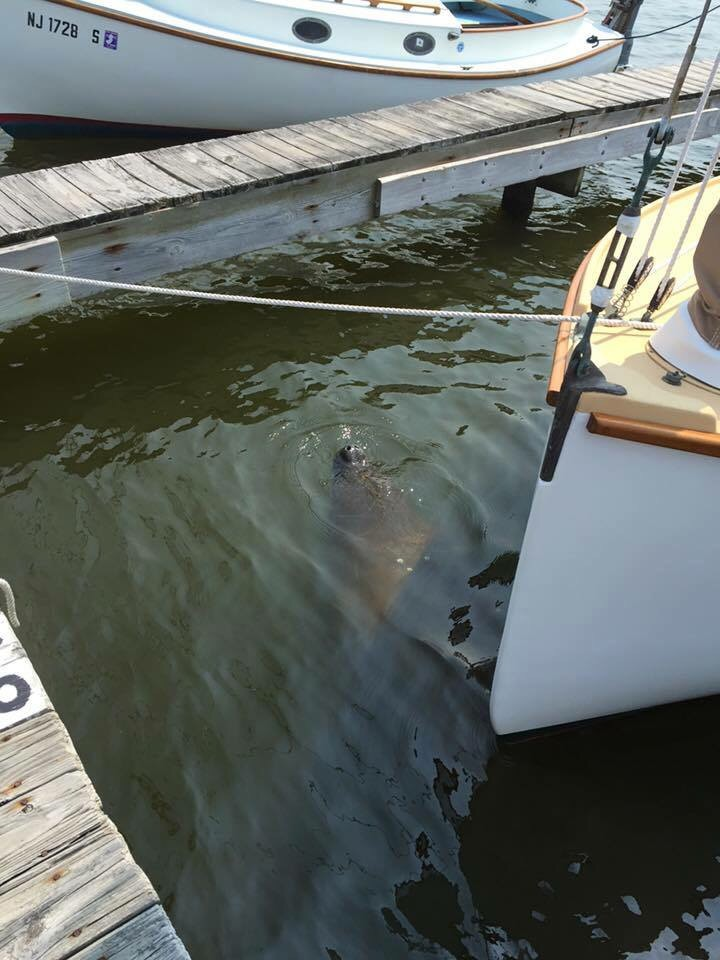 A manatee spotted in Brick, Sept 1, 2015.  (Credit: Beaton's Boatyard/Facebook)