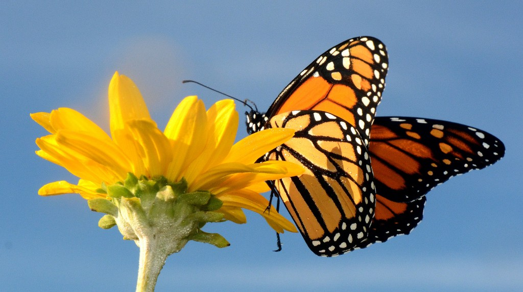 Monarch Butterfly (Photo: US Fish and Wildlife Service)