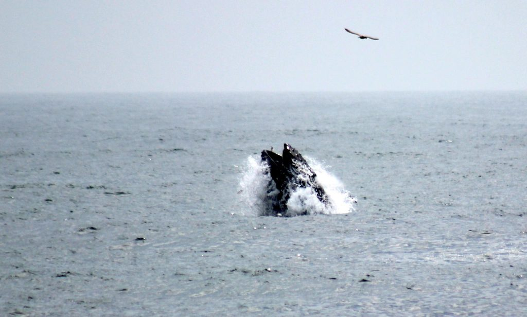 A humpback whale off Point Pleasant Beach. (Photo: Jerry Meaney/Barnegat Bay Island/Facebook)
