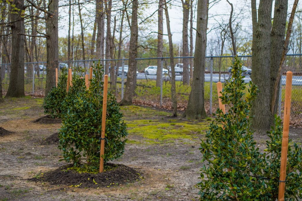 New trees planted at Evergreen Woods, May 2016. (Photo: Daniel Nee)
