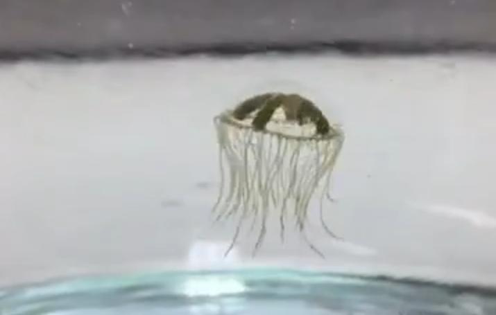Clinging jellyfish. (Fle Photo)