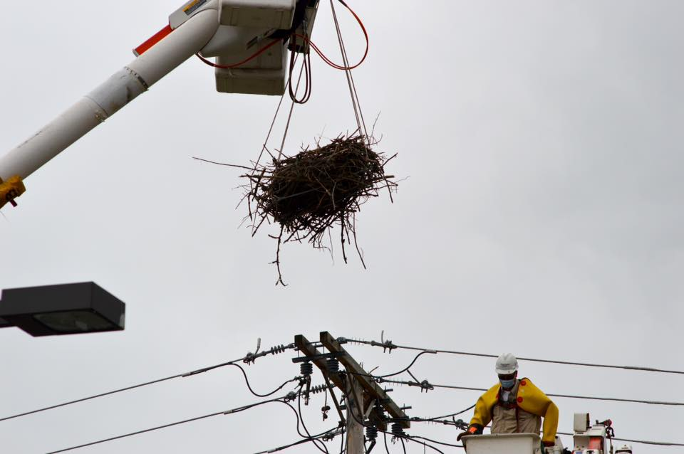A JCP&L crew relocates an osprey nest that was build amidst electrical equipment. (Photo: Judy Tunis)