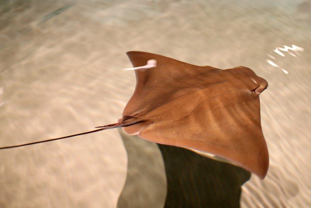 Cownose ray. (Credit: Calvert Marine Museum)