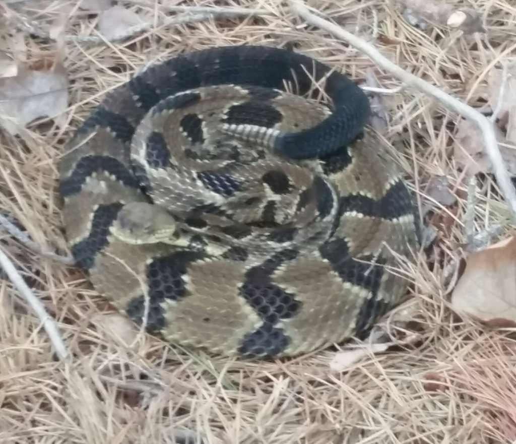 The timber rattlesnake. (Photo: Manchester Township Police)