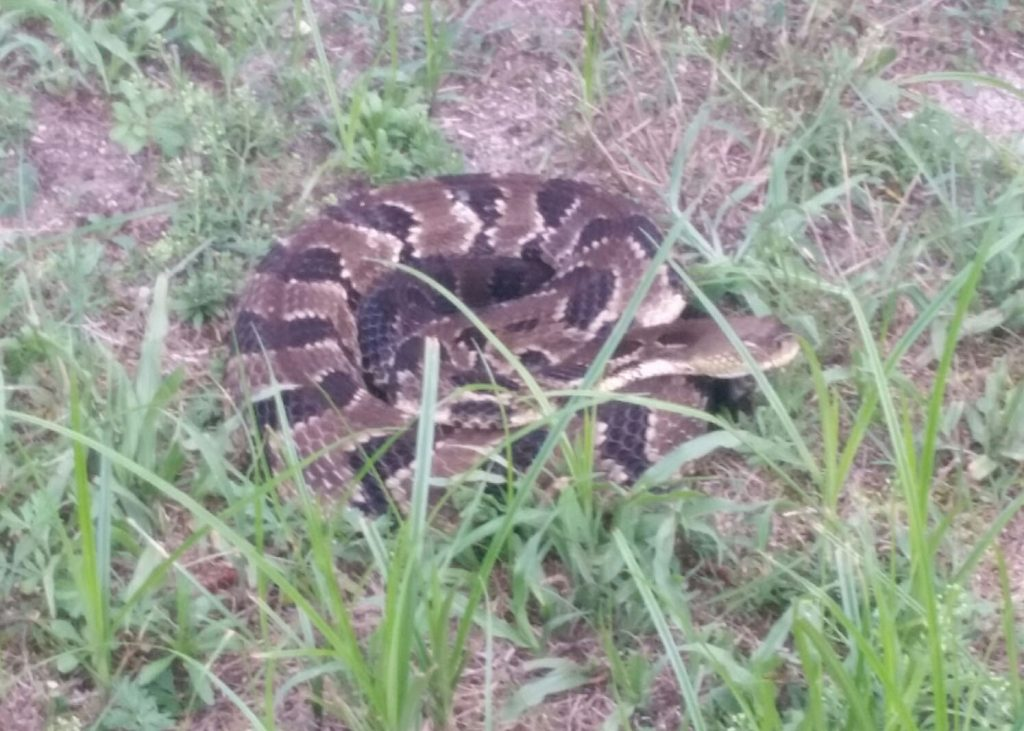 Timber rattlesnake. (Photo: Manchester Township Police)