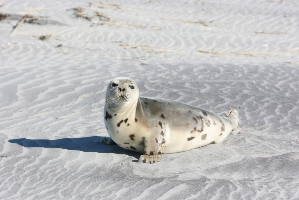 A seal on a local beach during the winter of 2016. (Photo: Marine Mammal Stranding Center)
