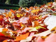 Fall leaf, leaves pickup. (Credit: Scott Robinson/ Flickr)