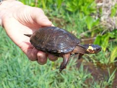 Bog Turtle (Credit: US Fish and Wildlife Service)