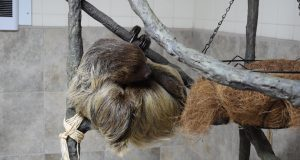 Wally the sloth at Jenkinson's Aquarium, Point Pleasant Beach. (Photo: Daniel Nee)