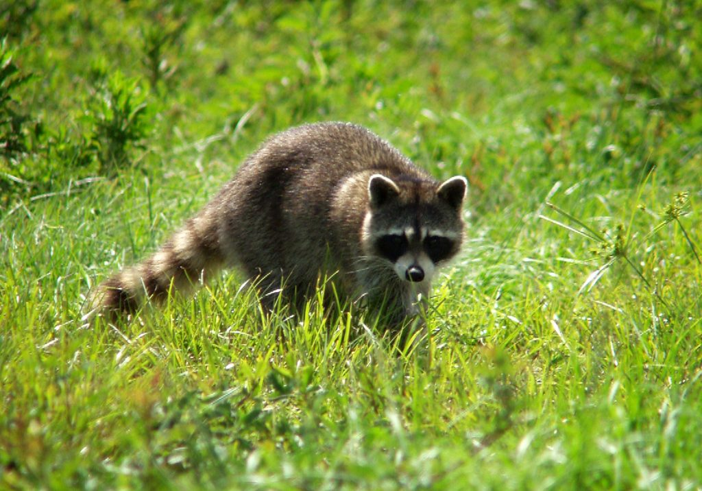 A raccoon at a wildlife refuge run by NASA. (Photo: NASA)
