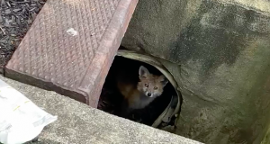 A baby fox peeks out from under a storm drain in Brick. (Photo: Laurelton Veterinary Hospital)