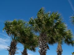 Palm trees in a Florida community. (Photo: Daniel Nee)
