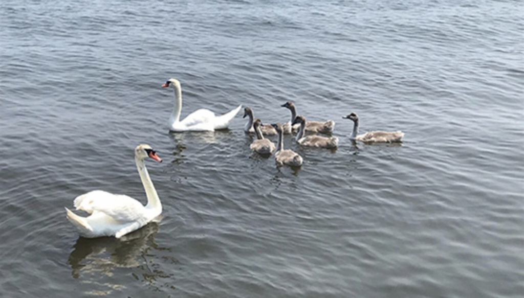 Alfie joins other swans at the Popcorn Park Zoo. (Photo: 10th District Legislative Office)